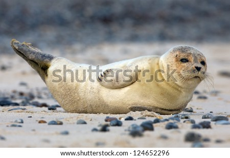 Baby grey seal lying on sand - stock photo