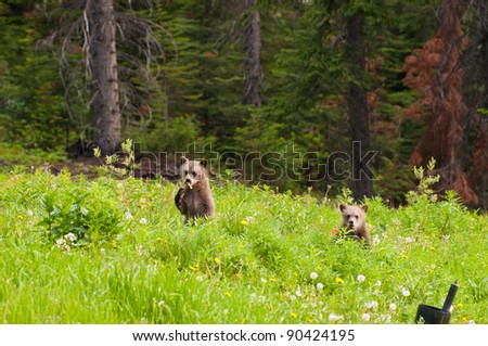 Baby grizzly bears standing and looking in curiosity. - stock photo
