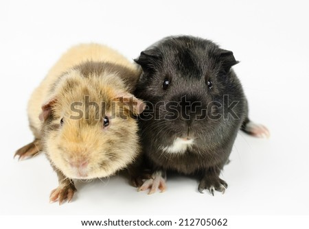 baby guinea pigs looking to camera - stock photo