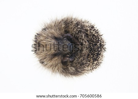 Baby hedgehog laying on it's back while curled into a ball. Photographed on a white background.