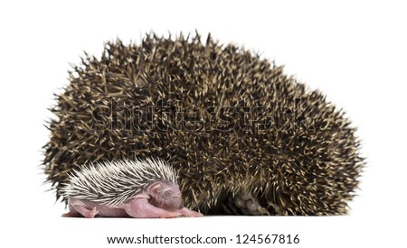 Baby Hedgehog lying next to its mother against white background - stock photo