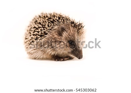 baby hedgehog on white background