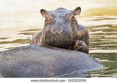 Baby hippo 3 - stock photo