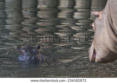 baby hippo close up portrait - stock photo