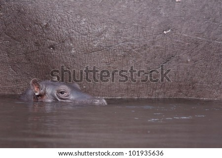 baby hippopotamus and his mother - stock photo