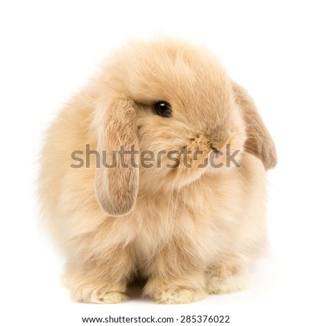 Baby Holland lop rabbit - Isolated on white - stock photo