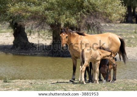 Baby Horses with Mothers - stock photo
