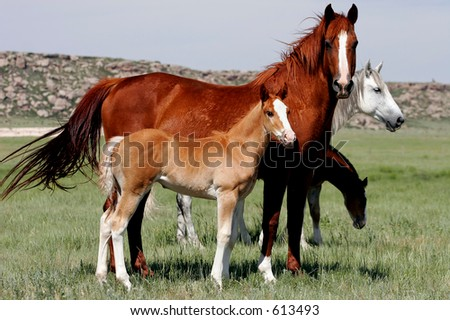 Baby Horses with Mothers in the American West. - stock photo