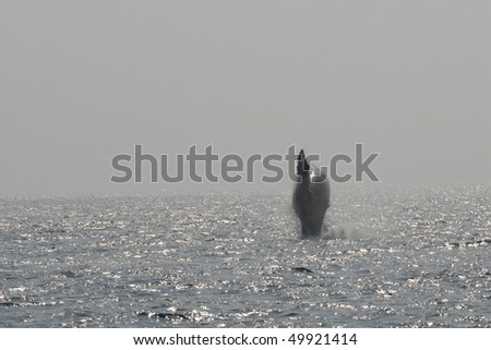 baby humpback whale breaching, notice the difference in the fin shape - stock photo