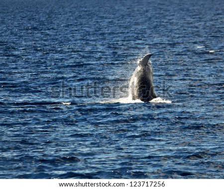 Baby Humpback Whale (Megaptera novaeangliae) breaching off the island coast in Maui, Hawaii. - stock photo