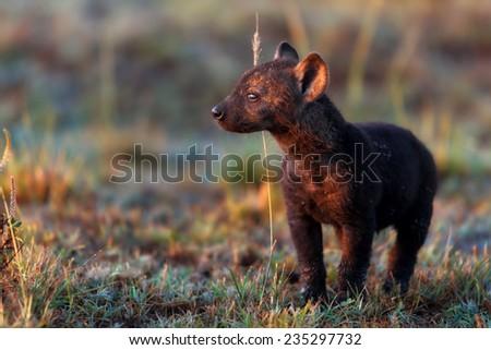 Baby Hyena at sunrise in Masai Mara - stock photo