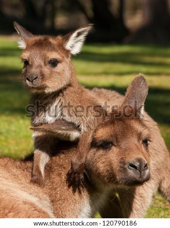 Baby kangaroo (joey) playing with its mother. - stock photo
