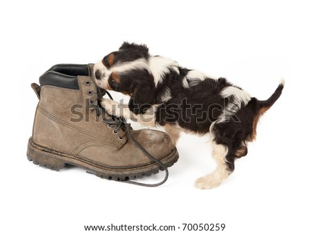 Baby king charles spaniel playing with an old boot - stock photo