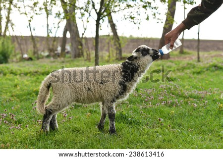 Baby lamb who lost his mother being hand fed by a farmer - stock photo