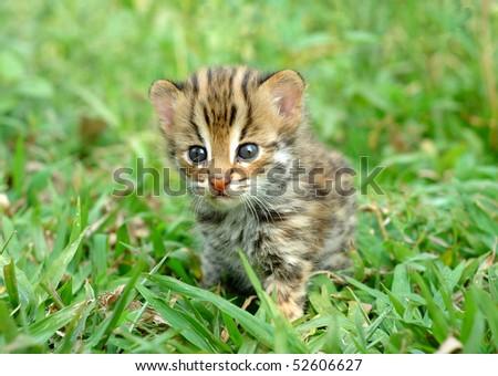 baby leopard cat,chiang mai night safari - stock photo