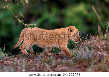 Baby Lion discovered its surroundings in Masai Mara, Kenya - stock photo