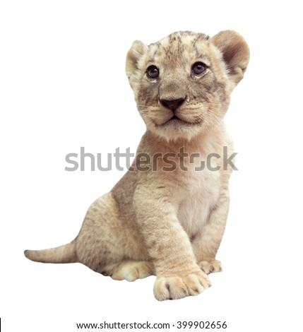 baby lion (panthera leo) isolated on white background - stock photo