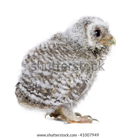 Baby Little Owl, 4 weeks old, Athene noctua, in front of a white background - stock photo