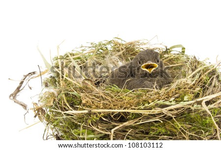 baby little sparrow in a nest isolated - stock photo
