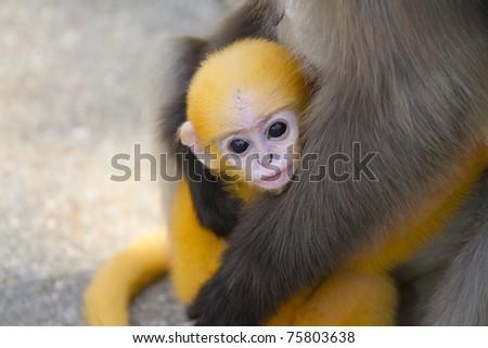 Baby macaque - stock photo