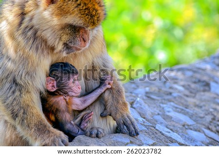 Baby macaque and his caring mother siting on a rock/Baby Macaque and his mummy/Gibraltar, Europe - stock photo