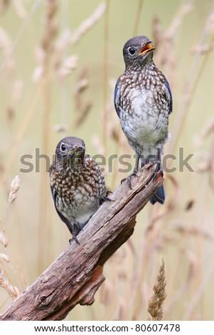 Baby Male Eastern Bluebirds (Sialia sialis) on a perch in a field - stock photo