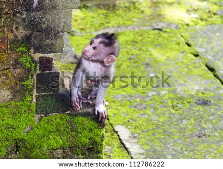 Baby-monkey at sacred monkey forest, Ubud, Bali, Indonesia