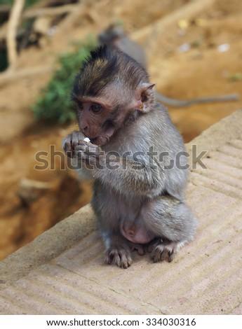 Baby monkey eating - stock photo