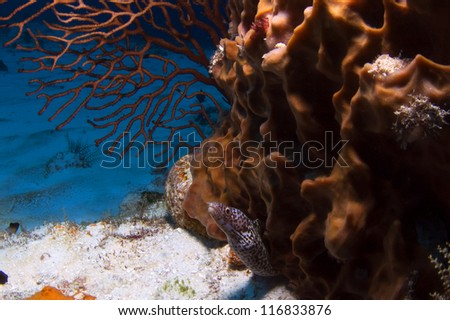 Baby moray eel peeks out from underneath a barrel sponge. - stock photo