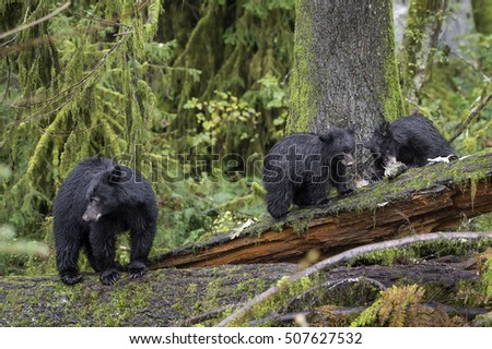 Baby mother feeds her cubs on freshly caught spawning salmon on a river in British Columbia's Vancouver Island old growth rainforest.