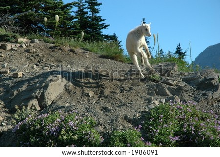 Baby Mountain Goat Jumping for joy - stock photo