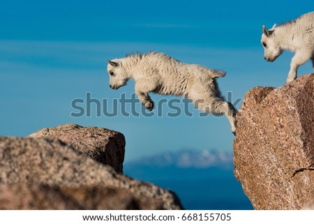 Baby Mountain Goat Lambs Jumping Among The Rocks On