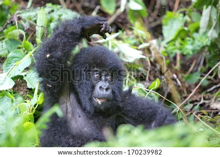 Baby mountain gorilla in rain forest