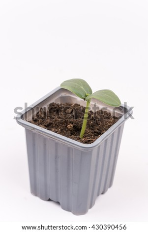 Baby nursery cucumber in plastic pot isolated over white background.