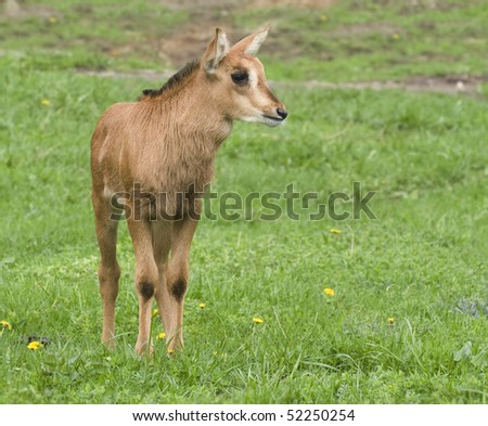 baby of a black buck - stock photo
