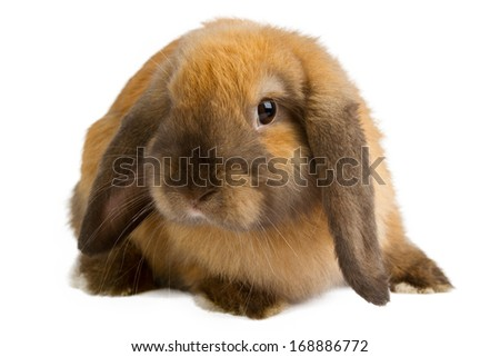 Baby of orange rabbit isolated on white background - stock photo