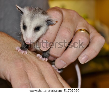 Opossum newborn