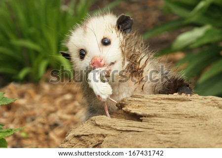 Baby opossum Eating a Mouse  - stock photo