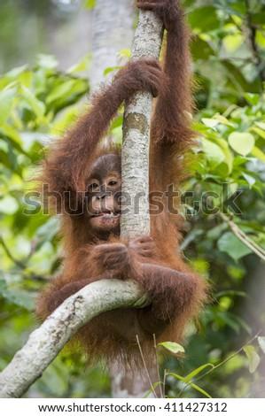 Baby orangutan (Pongo pygmaeus) on the tree. Natural green background. Borneo rainforest jungle, Indonesia. - stock photo