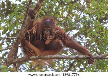 Baby Orangutan sucking his thumb - stock photo