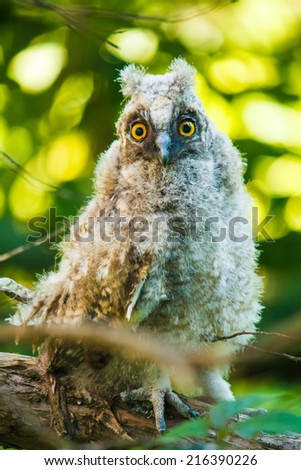 baby owl sitting on a branch and looking at you - stock photo