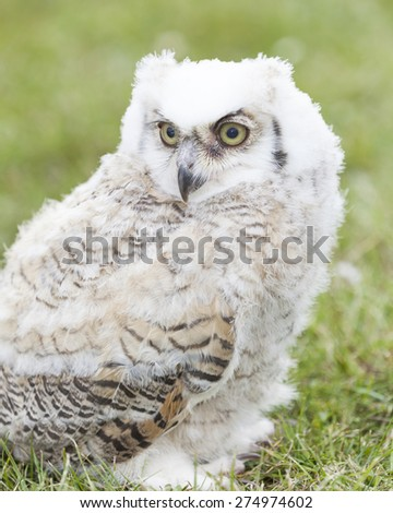 Baby owl sitting on the grass - stock photo