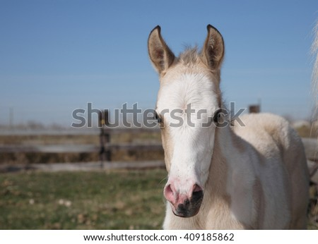 baby palomino horse close-up - stock photo