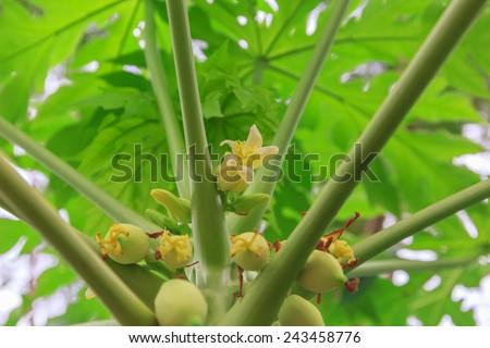 baby papayas,papaya tree - stock photo