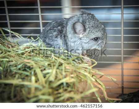 Baby pet chinchilla