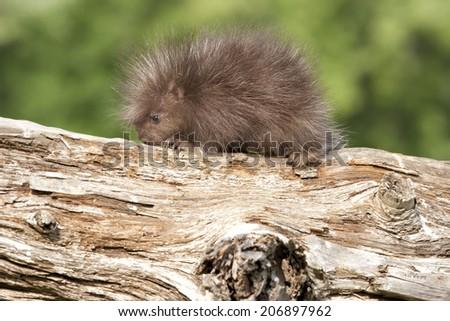 Baby Porcupine - stock photo
