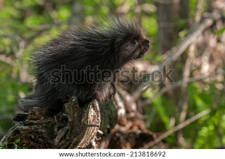Baby Porcupine (Erethizon dorsatum)  - captive animal - stock photo