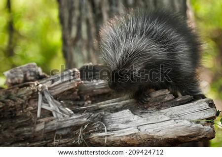 Baby Porcupine (Erethizon dorsatum) Looks Left - captive animal - stock photo