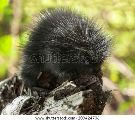 Baby Porcupine (Erethizon dorsatum) on Branch - captive animal - stock photo