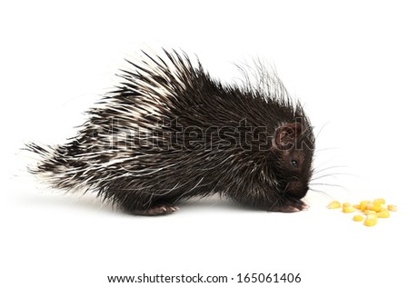 baby porcupine isolated on white background